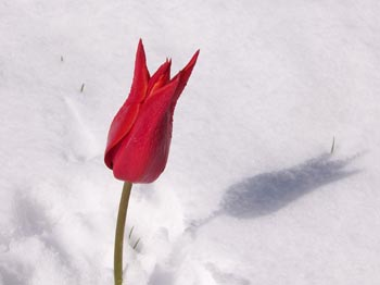 red-tulip-snow